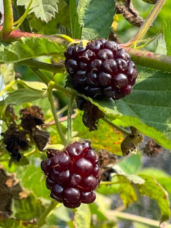 Juicy wild blackberries at Rancho Petaluma Adobe in Petaluma, California