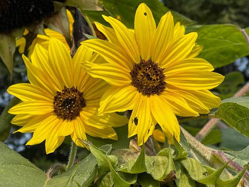 Sunflowers bloom in the garden at Wild Flour Bread in Freestone CA
