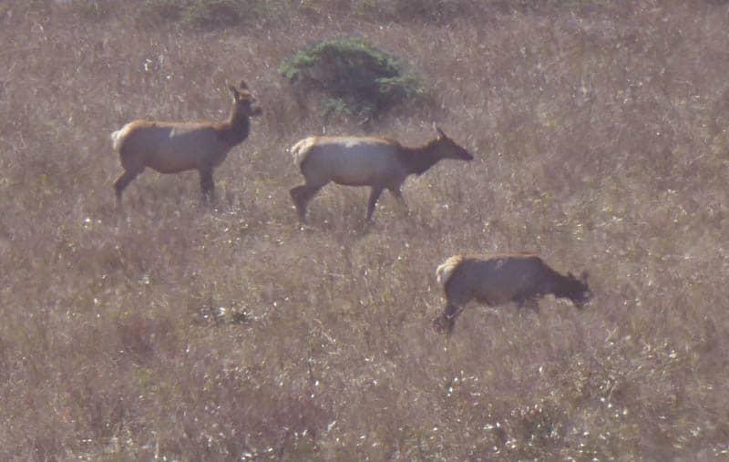 Female elk at Tomales Point in Point Reyes, CA