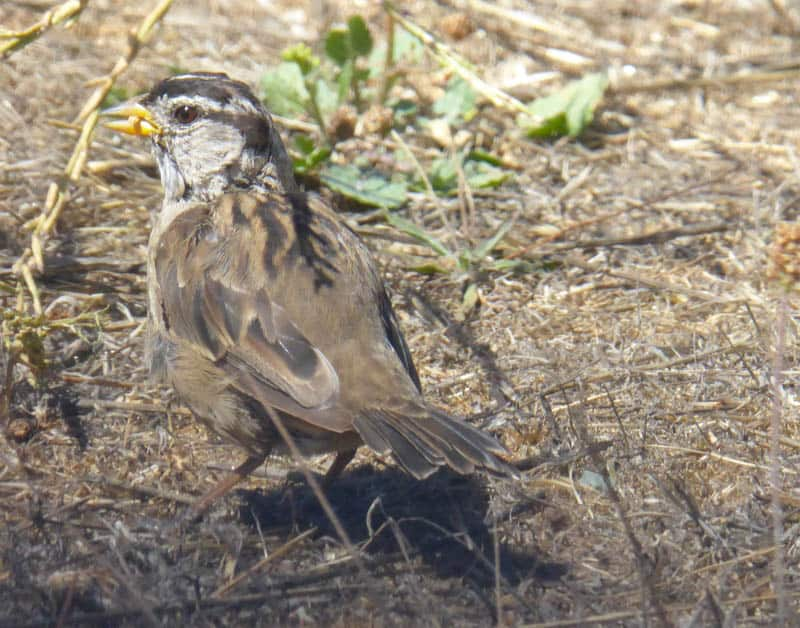 A sparrow in Point Reyes, California